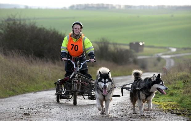 "While those military personnel not supporting the flood relief were on leave over the festive period, the Salisbury Plain Training Area hosted an exercise of the canine variety. The Alaskan Malamute Working Association (AMWA) returned to the military training area on the Sunday 27th and Monday 28th December 2015 for its annual Working Dog Event, the Salisbury Plain Trek. The event organiser, John Binding said: ""Salisbury Plain is an ideal venue with its wide range of terrain and conditions. It is the perfect place to learn about the dogs' abilities and to work together as a team. The weather once more was ideal for our canine competitors"". ÔThe purpose of the Trek which is not timed is to allow competitors who go out in groups, the opportunity to work their dogs in harness over longer distances which is really what they are bred to do. There are a choice of four distances Ð 7.5, 13, 16.5 or 25 miles. There was also a night run which was set to be a minimum of 10 miles. Potentially teams could cover a minimum of 60 miles over the two daysÕ. ÔThere were different team sizes ranging from one to eight dogs. We use a three-wheeled cart called a Rig which the team of harnessed dogs is connected to using a gang line and pull from the front. The only control you have over them is by voice commands. Purpose built scooters and mountain bikes can also be used for one-dog teams, which they pull from the frontÕ. ÔThe dogs do genuinely enjoy working in harness. They tend to get very excited and at times noisy and just want to go. ItÕs the stopping that can be fun. It is however, about knowing you dogs and their capabilities. You work as a team, competitor and dog alikeÕ. The event attracted over 30 entries over the two days with up to 100 sled dogs, with some competitors travelling from as far as Ireland, Birmingham and Essex to compete. The aim of the Trek is for the teamsÕ to earn their Working Dog Trek certificates, by completing those set confirmed mileages at an AMWA organised event."